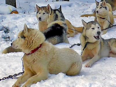 Экскурсия катания на собачьих упряжках в Москве